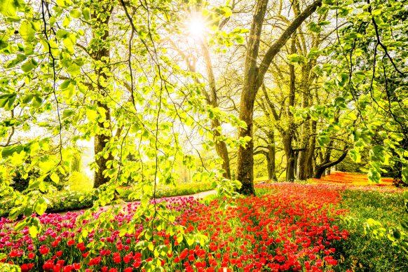 Fotograf Mainau, Tulpenblüte
